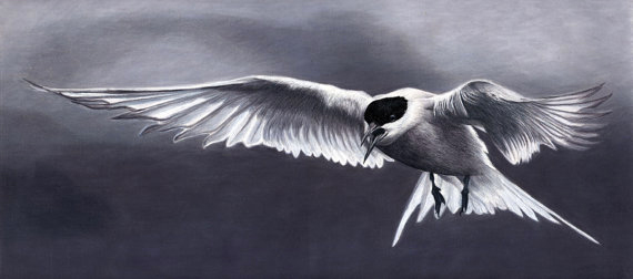 Arctic-Tern-in-Flight-570