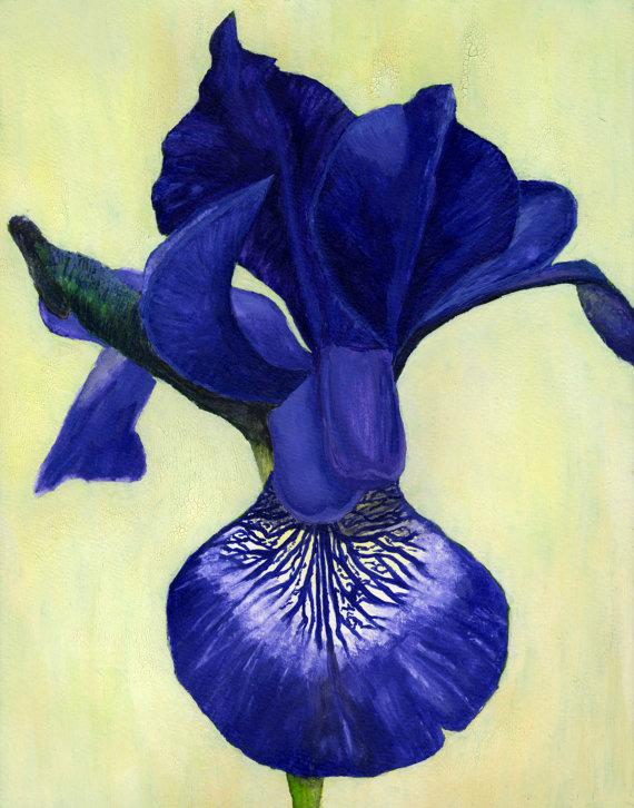 Blue-Iris-570