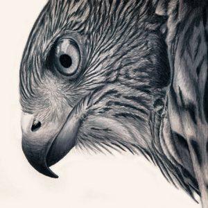 Cooper's Hawk In Colored Pencil 8x10 inches big