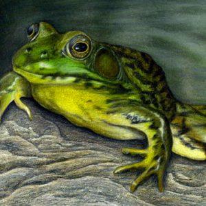 Green-Frog-570