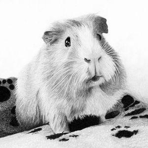 Guinea-Pig-570