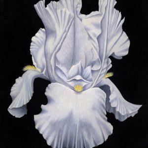 Majestic-Iris-570