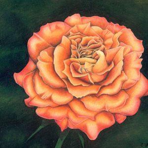 Orange-Rose-570