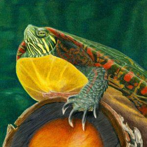 Painted-Turtle-570