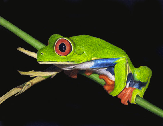 Red-Eyed-Tree-Frog-570