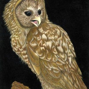 Spotted-Owl-570