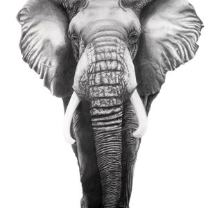 My African Elephant graphite and colored pencil drawing.