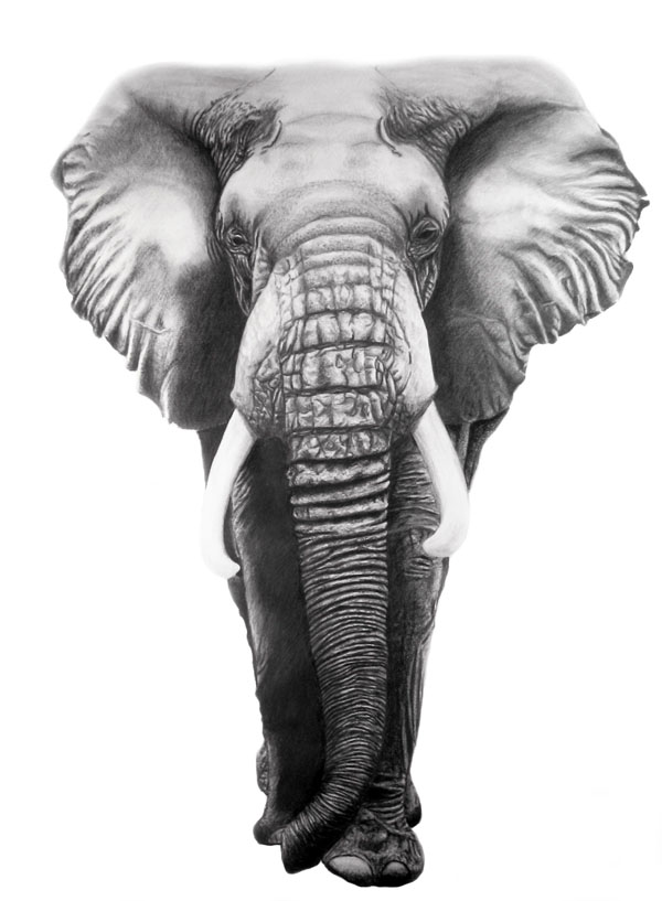 African Elephant - Original Drawing - Corrina Thurston